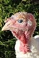 Walla Turkey 07.jpg