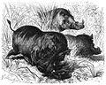 Warzenschwein-drawing.jpg
