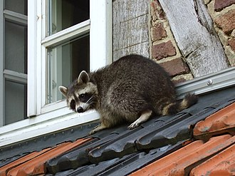 Generalists such as raccoons are sometimes able to adapt to urban environments. Waschbaer auf dem Dach.jpg