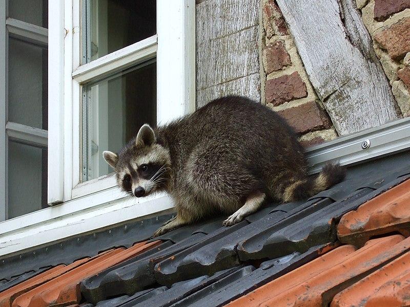 File:Waschbaer auf dem Dach.jpg