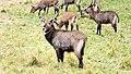 Waterbuck, Northern Serengeti, Tanzania (33974889411).jpg