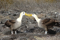 Waved albatross courtship.jpg