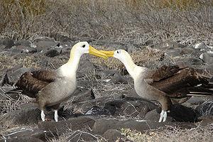 Waved albatross - Courtship ritual