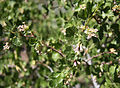 Wax currant Ribes cereum flowers.jpg