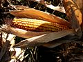 We are in the corn country - panoramio.jpg