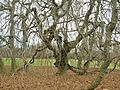 Weeping European Beech, Cranbury Park, Norwalk, CT - December 23, 2012.jpg