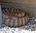 Western Diamomd-backed Rattlesnake. Crotalus tigris - Flickr - gailhampshire.jpg