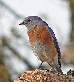 Western bluebird - An adult female in Livermore, California