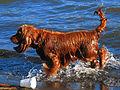 Wet dog (11164545406).jpg