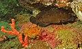 White-streaked Grouper (Epinephelus ongus) (8495824616).jpg