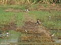 White-tailed Lapwing (Vanellus leucurus) & Red-wattled Lapwing (Vanellus indicus) (34291222775).jpg