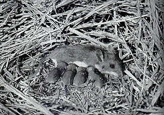 White-footed mouse - Female with sucklings