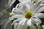 White Daisy 01.JPG