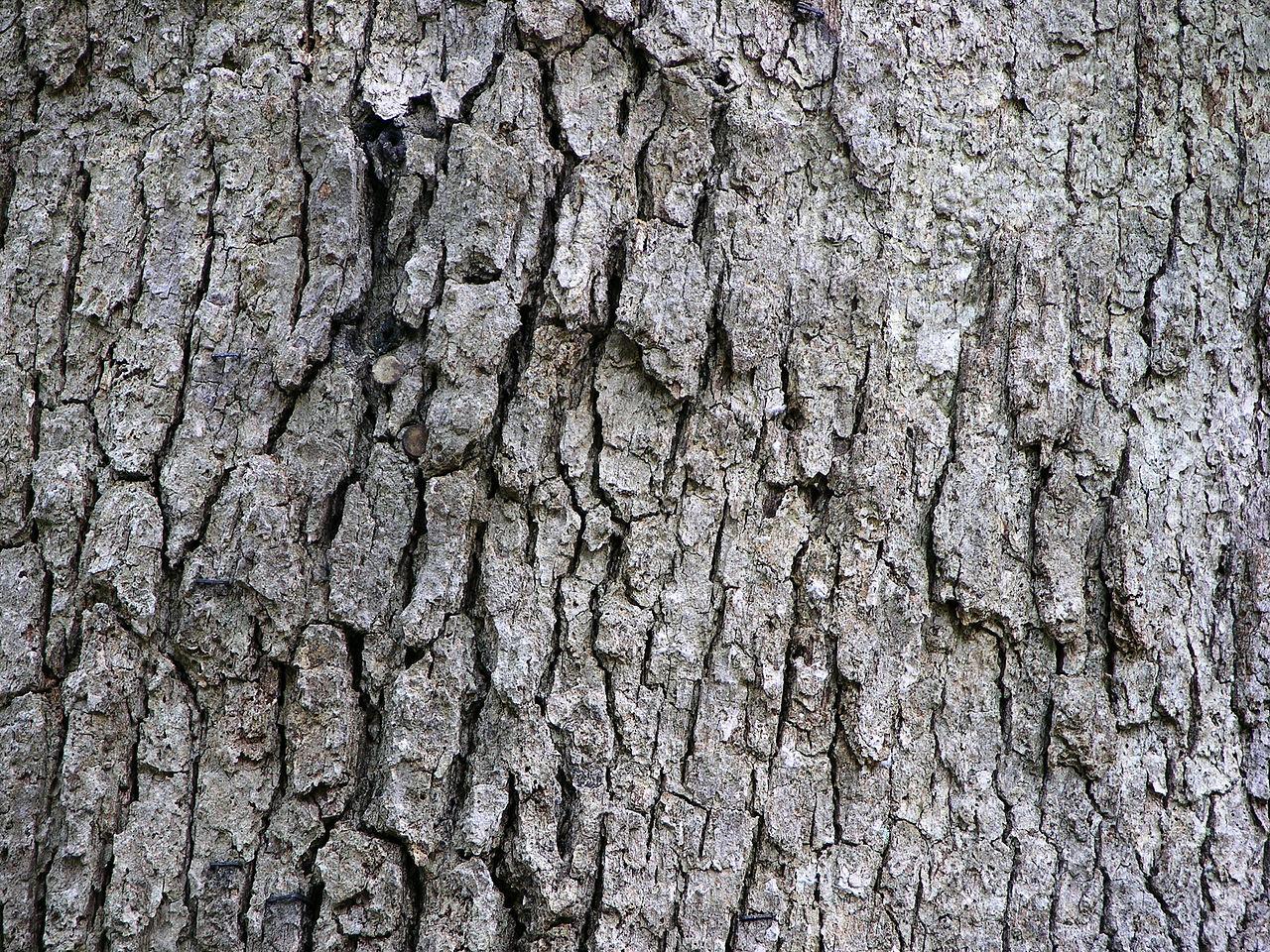 File white oak quercus alba tree bark px g