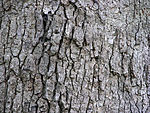 White Oak Quercus alba Tree Bark 3264px.jpg