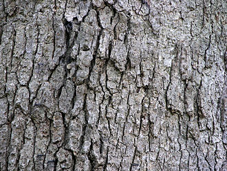 Quercus alba - Bark on a large trunk.