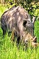 White Rhino, Uganda (15163502581).jpg