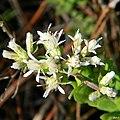 Whitetop aster (Sericocarpus tortifolius) (6346020332).jpg