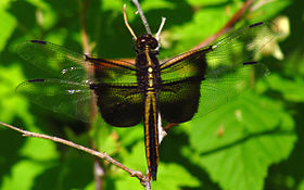 Widow Skimmer, female.jpg