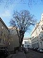 Wiener Naturdenkmal 410 - Bergahorn (Döbling) d.JPG