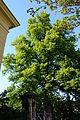 Wiener Naturdenkmal 455 - Winterlinde (Hietzing) j.JPG