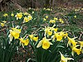 Wild daffodils in Dunsford Wood - geograph.org.uk - 363663.jpg