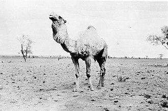 Momba Station - Wild dromedaries at Momba Station in about 1935