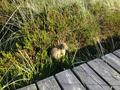 Wildkaninchen auf Amrum.png