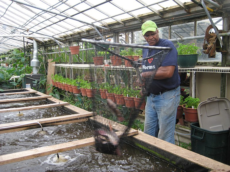 Will Allen nets Tilapia at the urban farm Growing Power in 2008.