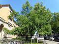 Wilmersdorf Bundesallee UDK Ginko Baum 25.jpg