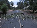 Windstorm damage along Yakima Greenway (9564394471).jpg