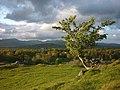 Windswept hawthorn, Brant Fell (geograph 2941786).jpg