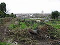 Winter tidying at the allotments - geograph.org.uk - 735824.jpg