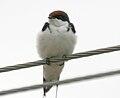 Wire-tailed Swallow (Hirundo smithii) W2 IMG 0540.jpg