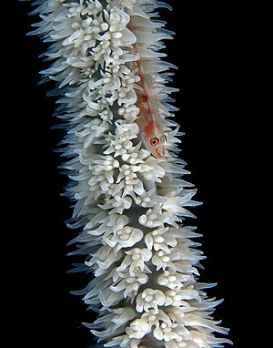 Black coral - Close-up on the polyps