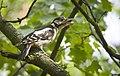 Woodpecker calls (48486347847).jpg