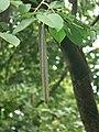 Wrightia arborea (1250894605).jpg