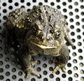 Wyoming Toad (18444265124).jpg