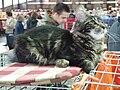 Wystawa kotów 338.JPG