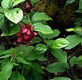 X Sinocalycalycanthus Hartlage Wine - Flickr - peganum (3).jpg