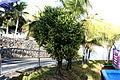 Yaiza Puerto Calero - Calle Alegranza - Euphorbia lactea 01 ies.jpg