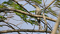 Yellow-billed Cuckoo Coccyzus americanus 01.jpg