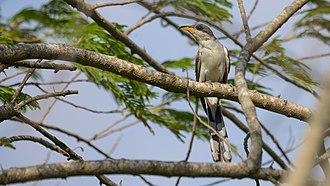 Yellow-billed cuckoo - Image: Yellow billed Cuckoo Coccyzus americanus 01