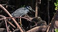 Yellow-crowned night heron shell creek mangroves (23941666746).jpg