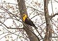 Yellow-headed Blackbird, Caledonia Sewage Ponds, 26 April 2015 (16660617324).jpg