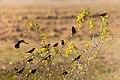 Yellow-hooded Blackbird Turpial de agua (Chrysomus icterocephalus) (9812164786).jpg