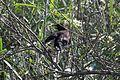 Yellow-winged Blackbird - Flickr - GregTheBusker.jpg