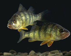 Amerikanischer Flussbarsch (Perca flavescens)