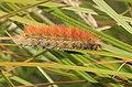 Yellow Woolly Bear Moth caterpillar Diacrisia virginica 8589.jpg