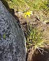 Yellow flower to ID - Flickr - brewbooks (1).jpg